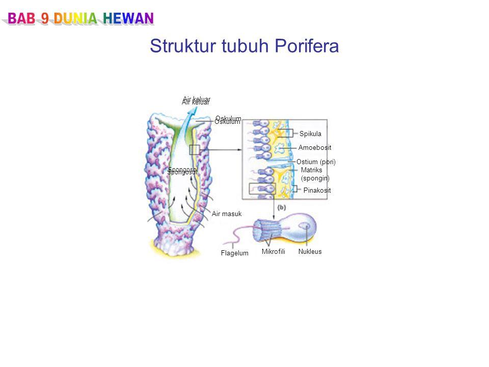 Struktur tubuh Porifera Air keluar Oskulum Air masuk Flagelum MikrofiliNukleus Spikula Amoebosit Ostium (pori) Matriks (spongin) Pinakosit Spongosol Air keluar Oskulum Spongosol