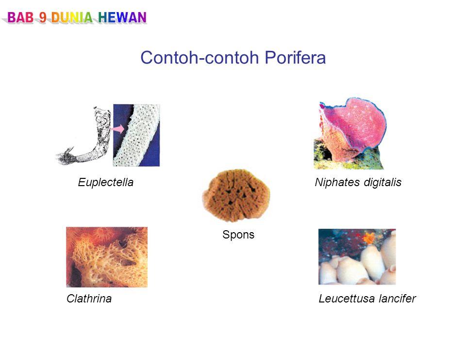 Contoh-contoh Porifera EuplectellaNiphates digitalis ClathrinaLeucettusa lancifer Spons