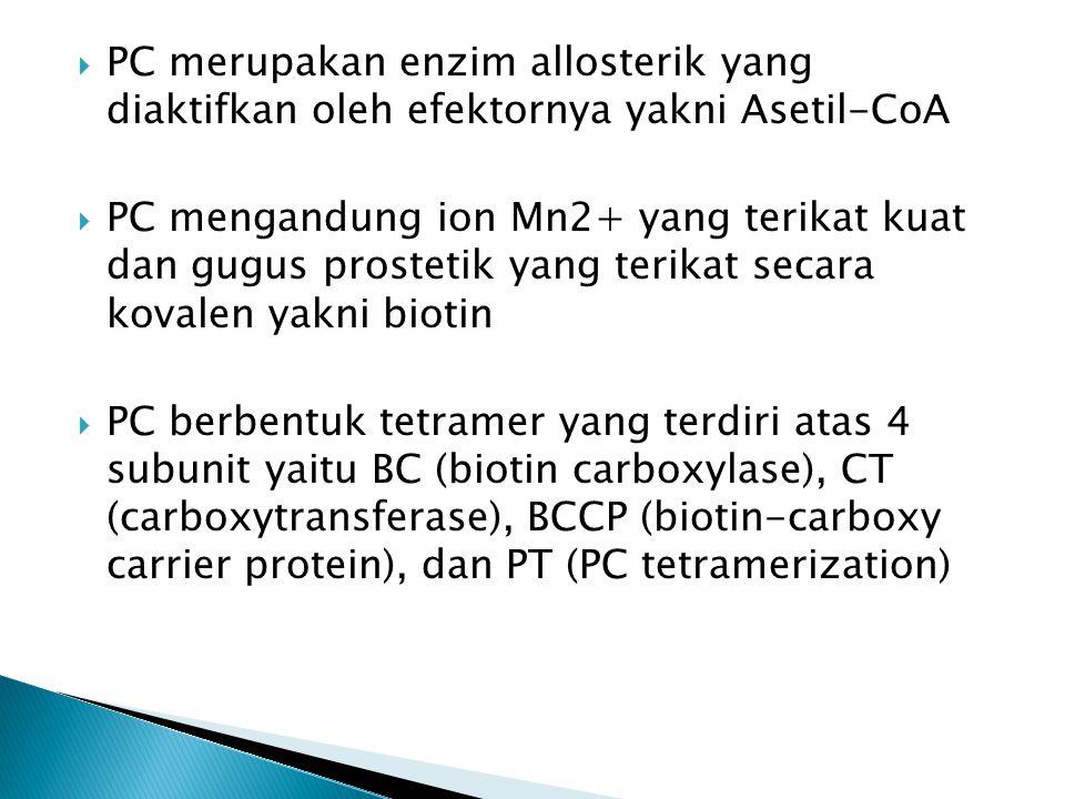  PC merupakan enzim allosterik yang diaktifkan oleh efektornya yakni Asetil-CoA  PC mengandung ion Mn2+ yang terikat kuat dan gugus prostetik yang terikat secara kovalen yakni biotin  PC berbentuk tetramer yang terdiri atas 4 subunit yaitu BC (biotin carboxylase), CT (carboxytransferase), BCCP (biotin-carboxy carrier protein), dan PT (PC tetramerization)