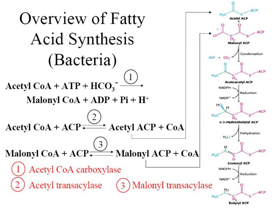 Sintesis asam palmitat  setelah butiril Co A  siklus akan berlanjut dari awal lagi sampai 7 x dan kemudian diakhiri dgn hidrolisis yg memecah palmitat dengan ACP Sintesis asam palmitat  setelah butiril Co A  siklus akan berlanjut dari awal lagi sampai 7 x dan kemudian diakhiri dgn hidrolisis yg memecah palmitat dengan ACP Net reaksi biosintesis palmitat : Net reaksi biosintesis palmitat : Asetil CoA + 7 malonil CoA + 14 NADPH  palmitat + 7 CO 2 + 17 NADP + + 8 CoA- SH + 6 H 2 O
