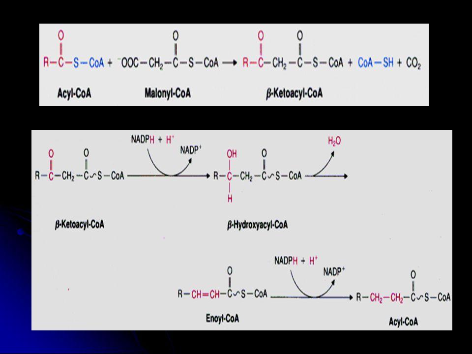 Desaturasi asam lemak membutuhkan Fatty acyl CO A desaturase Ensim yang menghasilkan asam oleat dan palmitoleat dari asam stearat dan palmitat   -9 enzyme, Tidak ada desaturase utk lebih dr c-9