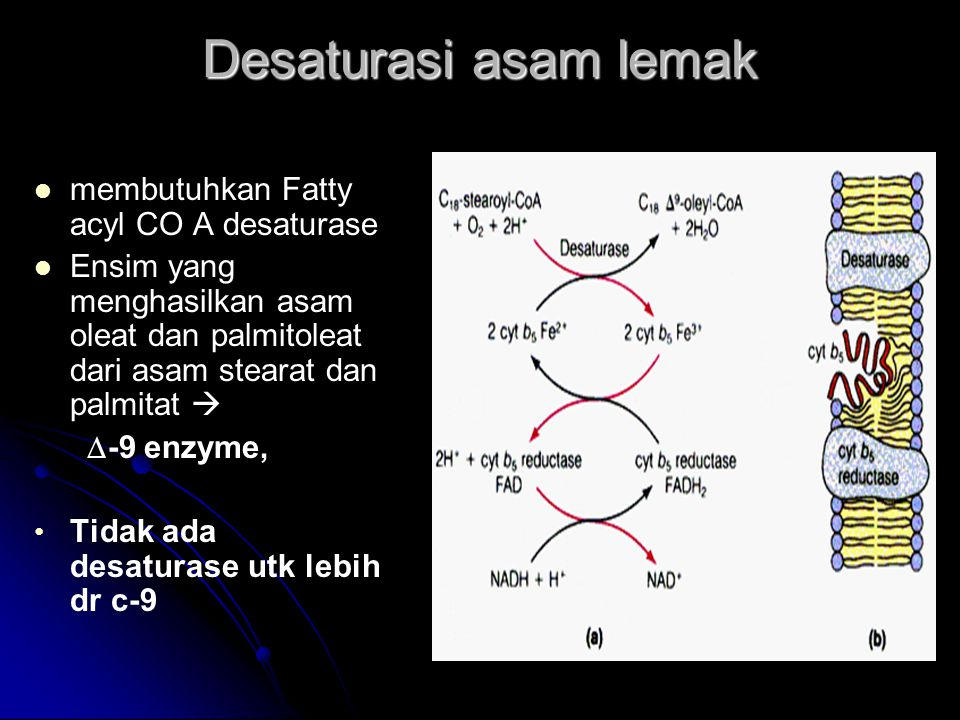 Desaturasi asam lemak membutuhkan Fatty acyl CO A desaturase Ensim yang menghasilkan asam oleat dan palmitoleat dari asam stearat dan palmitat   -9