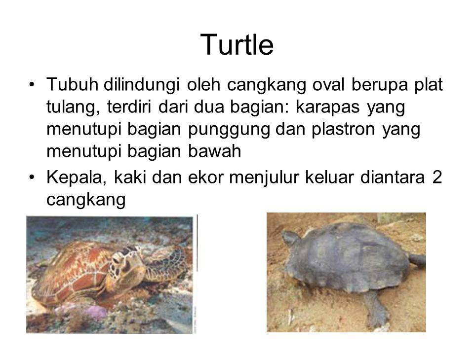 Turtle Tubuh dilindungi oleh cangkang oval berupa plat tulang, terdiri dari dua bagian: karapas yang menutupi bagian punggung dan plastron yang menutupi bagian bawah Kepala, kaki dan ekor menjulur keluar diantara 2 cangkang