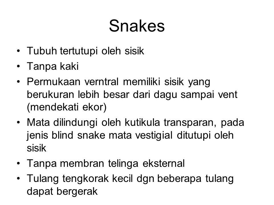 Snakes Tubuh tertutupi oleh sisik Tanpa kaki Permukaan verntral memiliki sisik yang berukuran lebih besar dari dagu sampai vent (mendekati ekor) Mata dilindungi oleh kutikula transparan, pada jenis blind snake mata vestigial ditutupi oleh sisik Tanpa membran telinga eksternal Tulang tengkorak kecil dgn beberapa tulang dapat bergerak