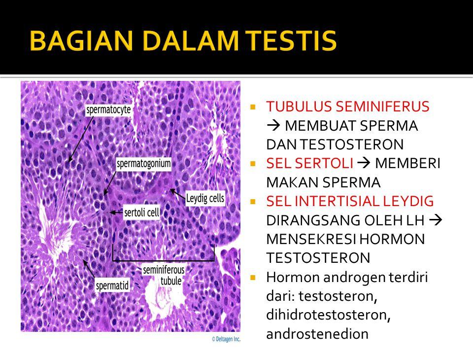  Testis  Gonad jantan  Fungsi : Memproduksi sperma dan testosteron  Terdapat pembuluh-pembuluh halus yang disebut tubulus seminiferus  Pada mamal
