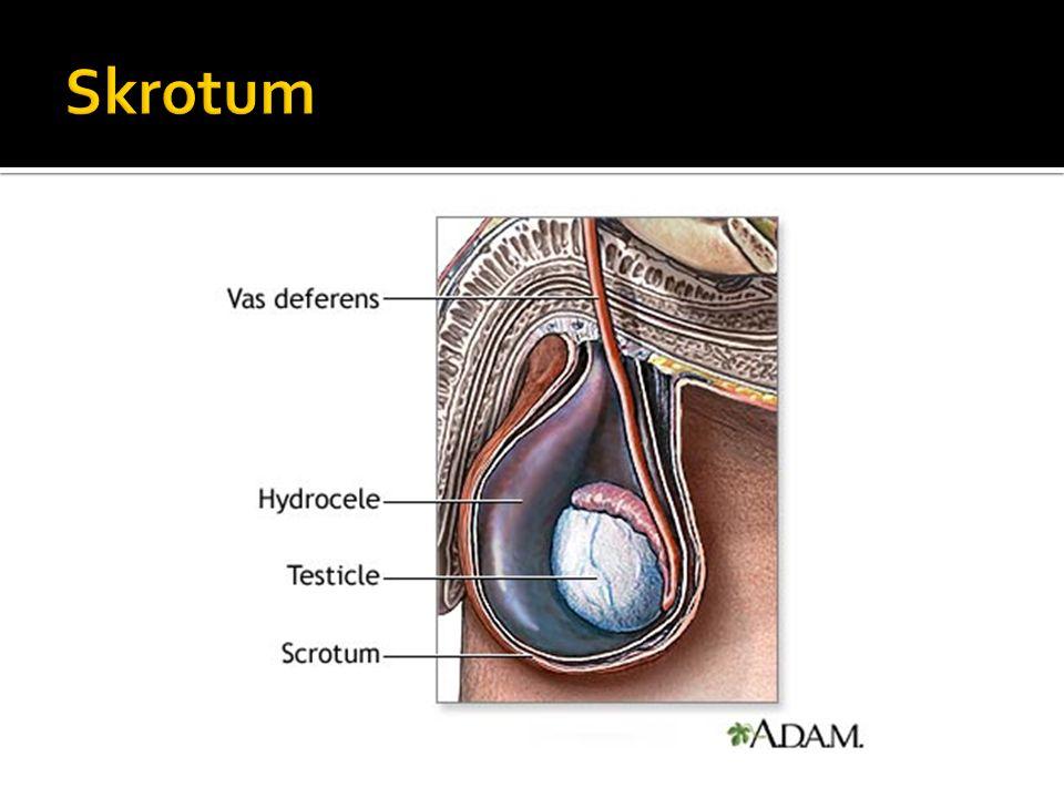  Fungsi skrotum adalah menjaga suhu dari testis agar tetap optimal yakni di bawah suhu tubuh. Pada manusia, suhu testis sekitar 34 °C  Pengaturan su