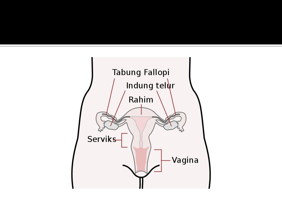  Vagina  Saluran akhir dari saluran dalam kelamin dalam wanita  Terdapat di dalam vulva  Alat kopulasi wanita  Dindingnya banyak lipatan dan memp