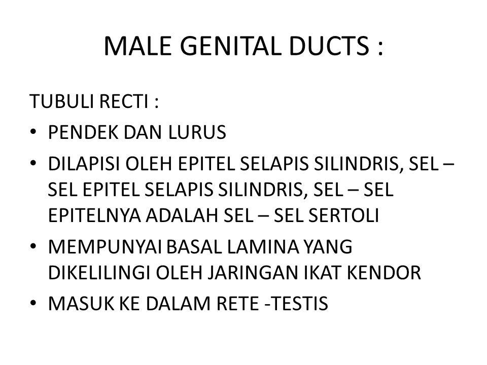 MALE GENITAL DUCTS : TUBULI RECTI : PENDEK DAN LURUS DILAPISI OLEH EPITEL SELAPIS SILINDRIS, SEL – SEL EPITEL SELAPIS SILINDRIS, SEL – SEL EPITELNYA A