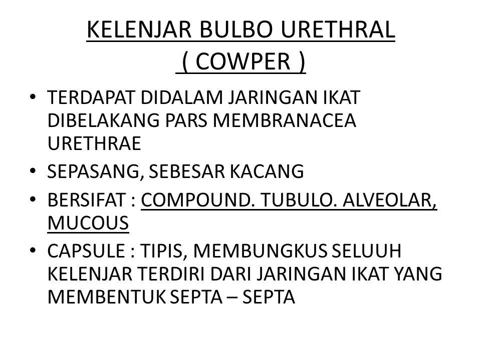 KELENJAR BULBO URETHRAL ( COWPER ) TERDAPAT DIDALAM JARINGAN IKAT DIBELAKANG PARS MEMBRANACEA URETHRAE SEPASANG, SEBESAR KACANG BERSIFAT : COMPOUND. T