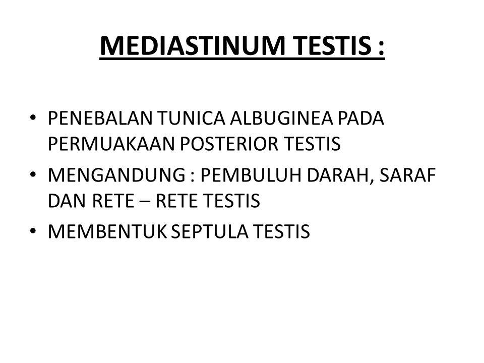 MEDIASTINUM TESTIS : PENEBALAN TUNICA ALBUGINEA PADA PERMUAKAAN POSTERIOR TESTIS MENGANDUNG : PEMBULUH DARAH, SARAF DAN RETE – RETE TESTIS MEMBENTUK S