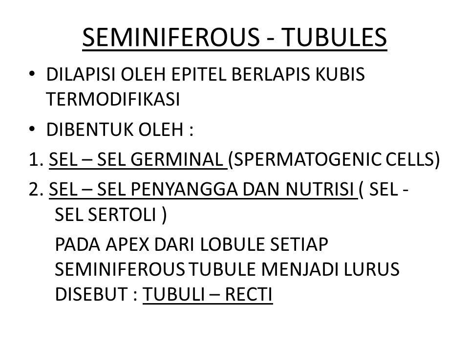 SEMINIFEROUS - TUBULES DILAPISI OLEH EPITEL BERLAPIS KUBIS TERMODIFIKASI DIBENTUK OLEH : 1. SEL – SEL GERMINAL (SPERMATOGENIC CELLS) 2. SEL – SEL PENY