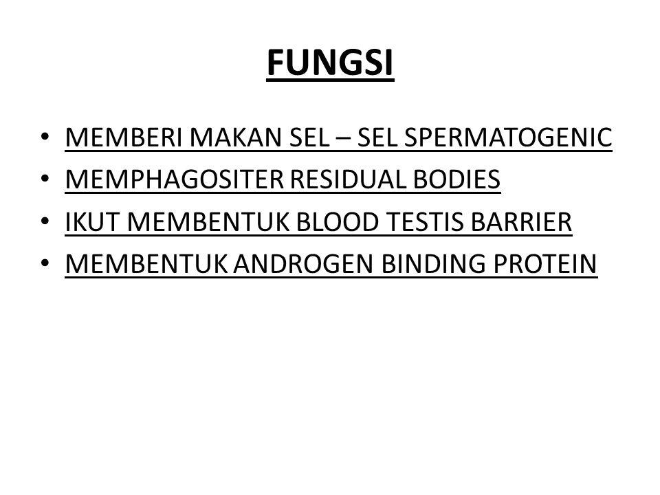 FUNGSI MEMBERI MAKAN SEL – SEL SPERMATOGENIC MEMPHAGOSITER RESIDUAL BODIES IKUT MEMBENTUK BLOOD TESTIS BARRIER MEMBENTUK ANDROGEN BINDING PROTEIN