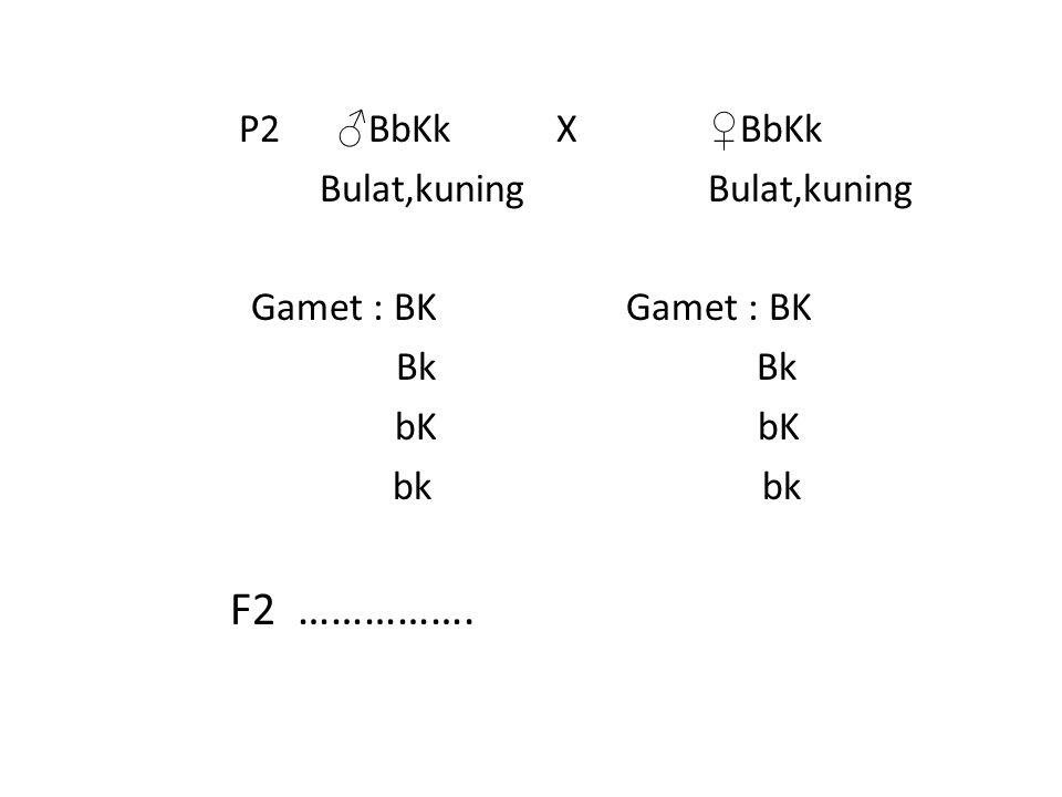 P2 ♂ BbKk X ♀ BbKk Bulat,kuning Bulat,kuning Gamet : BK Bk Bk bK bK bk bk F2 ……………. …………..