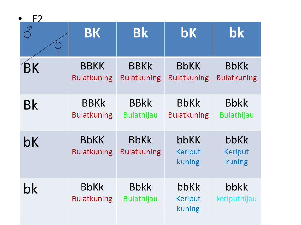 F2 ♂ ♀ BKBkbKbk BK BBKK Bulatkuning BBKk Bulatkuning BbKK Bulatkuning BbKk Bulatkuning Bk BBKk Bulatkuning BBkk Bulathijau BbKk Bulatkuning Bbkk Bulat