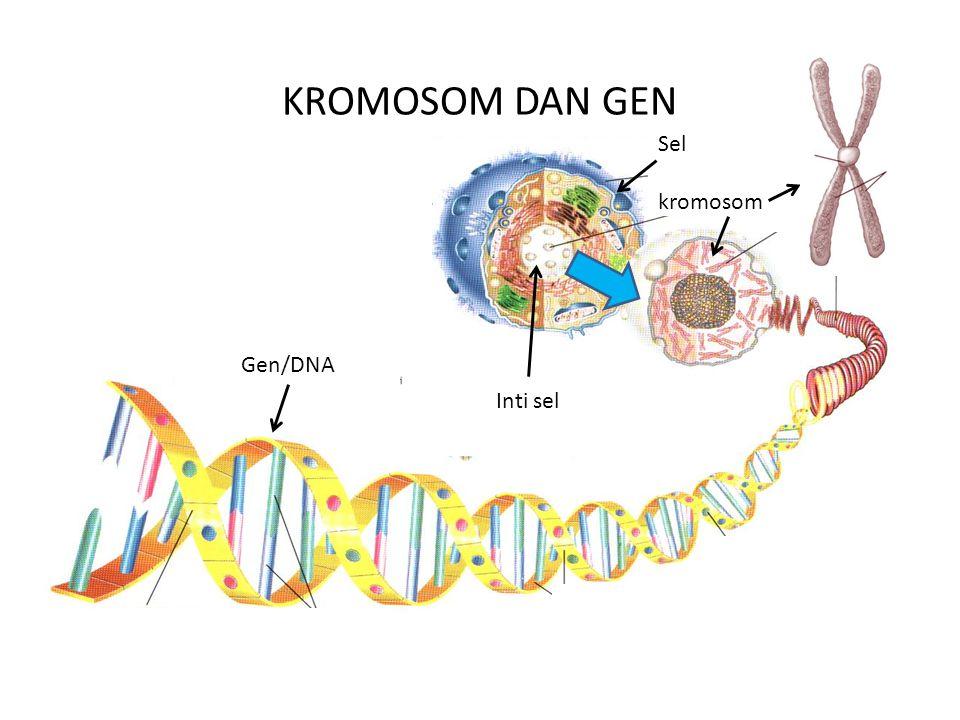 KROMOSOM DAN GEN Gen/DNA Inti sel Sel kromosom