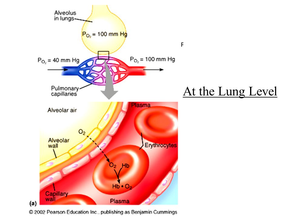 At the Lung Level
