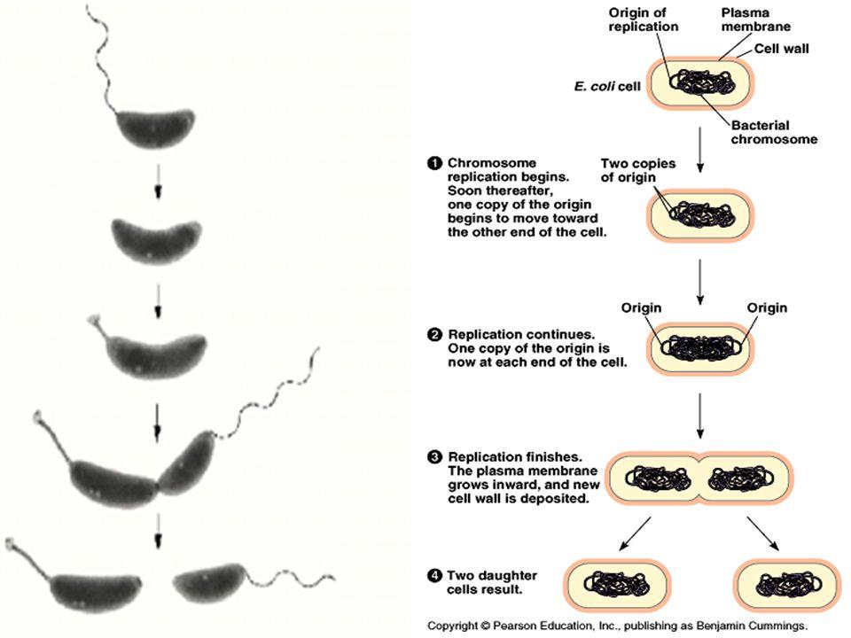 Macam-macam penyakit oleh bakteri Tetanus Typhoid fever Diphtheria Syphilis Tuberculosis Pneumonia Meningitis Cholera Food-borne illness Leprosy