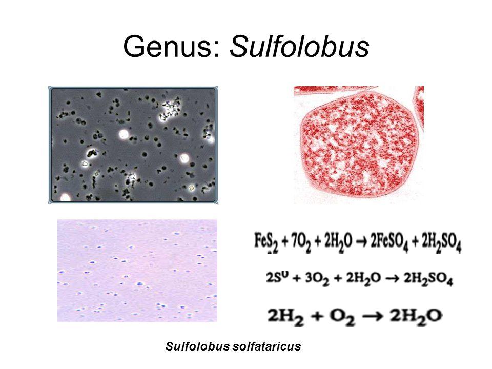 Genus: Sulfolobus Sulfolobus solfataricus