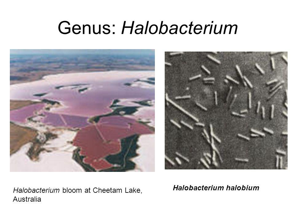 Genus: Halobacterium Halobacterium bloom at Cheetam Lake, Australia Halobacterium halobium