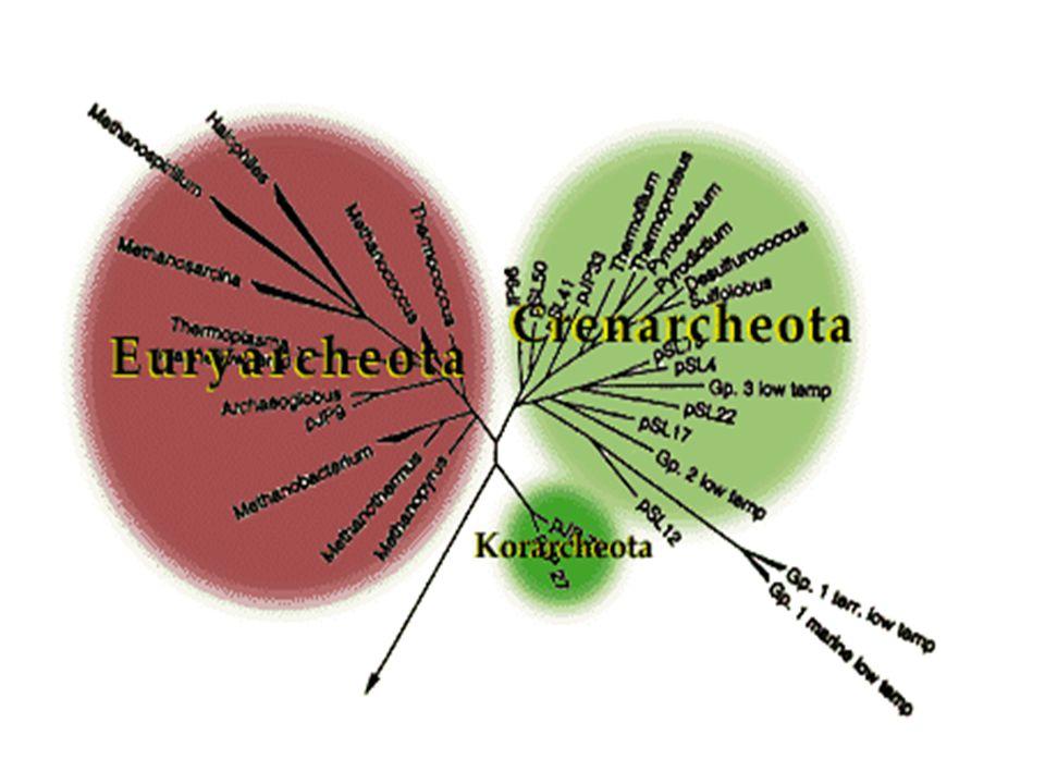Genus: Thermoplasma & Thermococcus Thermococcus acidiminovorans Thermoplasma acidophilum