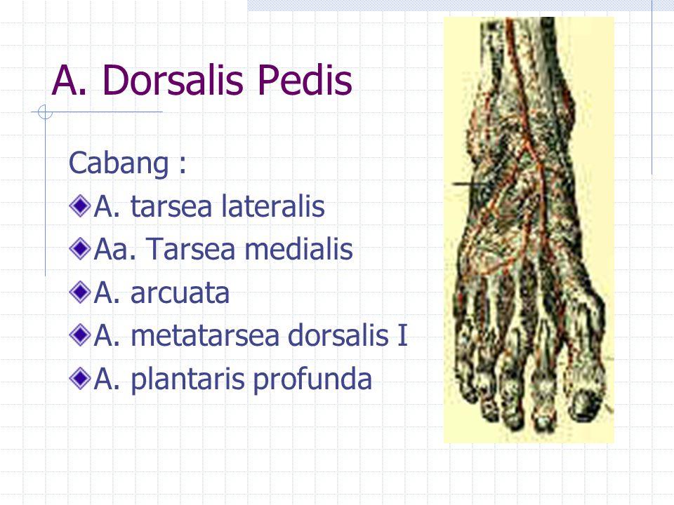 A. Dorsalis Pedis Cabang : A. tarsea lateralis Aa. Tarsea medialis A. arcuata A. metatarsea dorsalis I A. plantaris profunda
