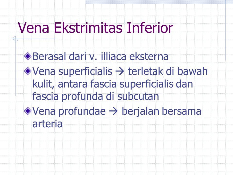 Vena Ekstrimitas Inferior Berasal dari v. illiaca eksterna Vena superficialis  terletak di bawah kulit, antara fascia superficialis dan fascia profun