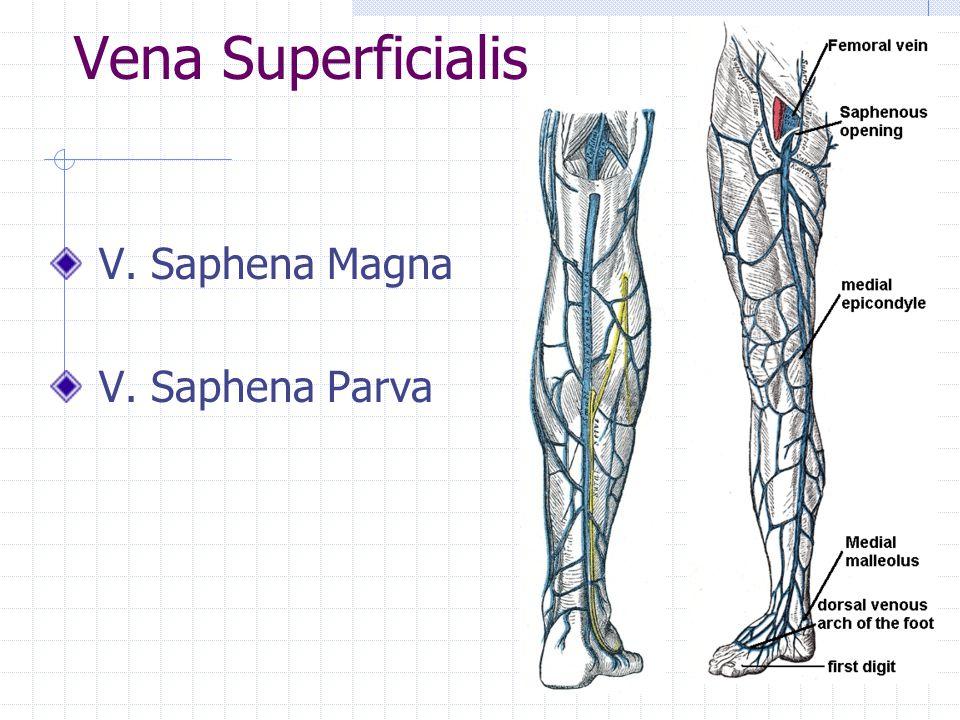 Vena Superficialis V. Saphena Magna V. Saphena Parva