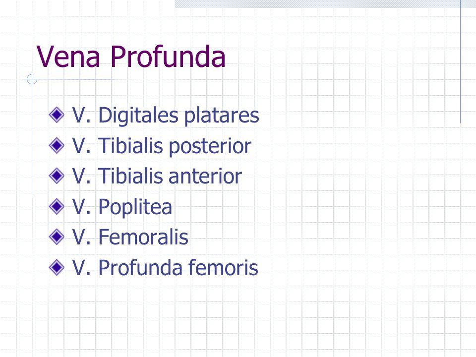 V. Digitales platares V. Tibialis posterior V. Tibialis anterior V. Poplitea V. Femoralis V. Profunda femoris Vena Profunda