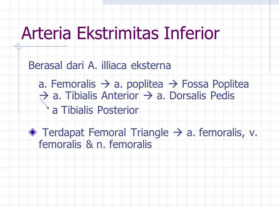 Arteria Ekstrimitas Inferior Berasal dari A. illiaca eksterna a. Femoralis  a. poplitea  Fossa Poplitea  a. Tibialis Anterior  a. Dorsalis Pedis a