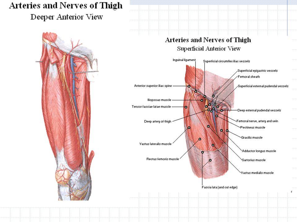 Arteri Femoralis Bercabang menjadi : A.Epigastrica superficialis A.