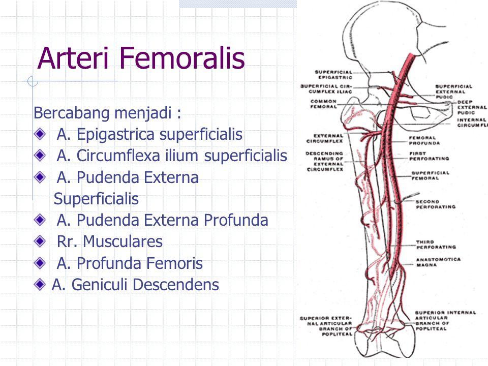 Arteri Femoralis Bercabang menjadi : A. Epigastrica superficialis A. Circumflexa ilium superficialis A. Pudenda Externa Superficialis A. Pudenda Exter
