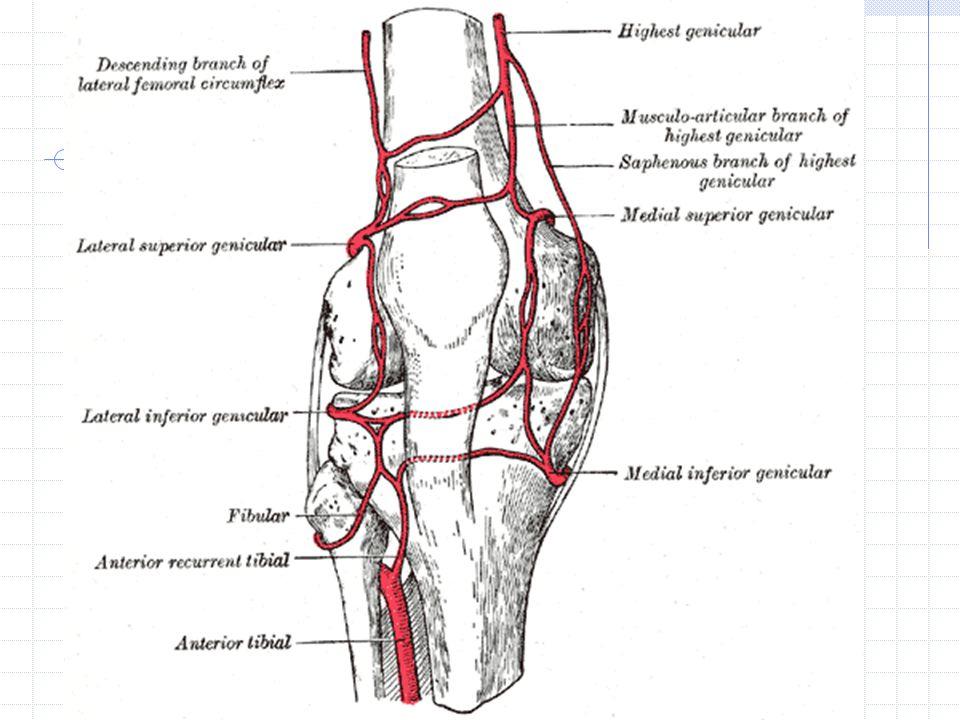 A.Tibialis Anterior Cabang : A. recurrens tibialis posterior A.