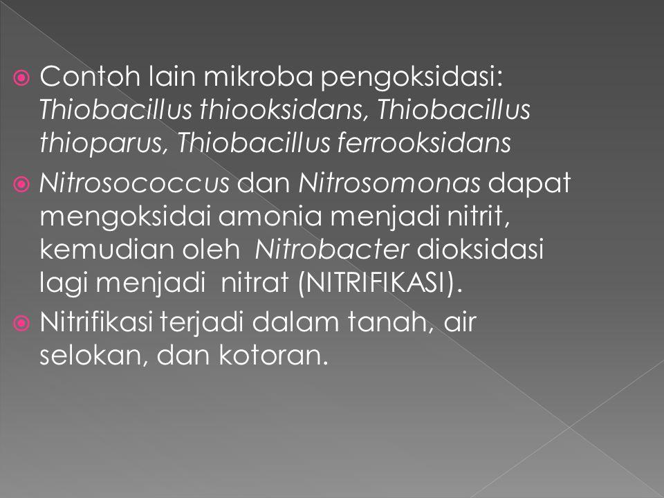  Contoh lain mikroba pengoksidasi: Thiobacillus thiooksidans, Thiobacillus thioparus, Thiobacillus ferrooksidans  Nitrosococcus dan Nitrosomonas dap