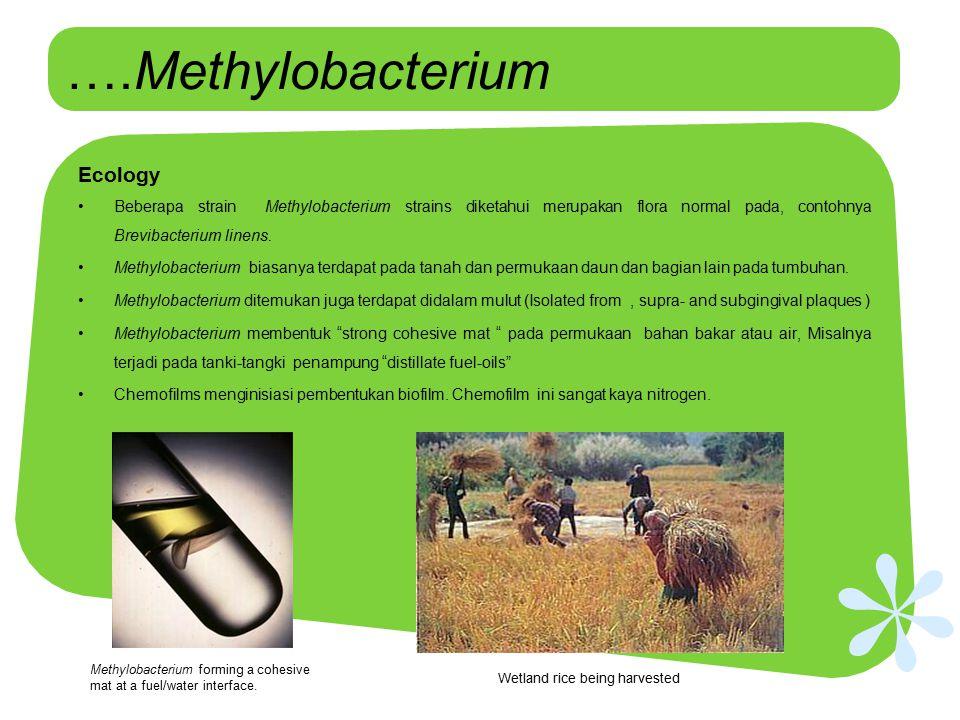 ….Methylobacterium Ecology Beberapa strain Methylobacterium strains diketahui merupakan flora normal pada, contohnya Brevibacterium linens. Methylobac