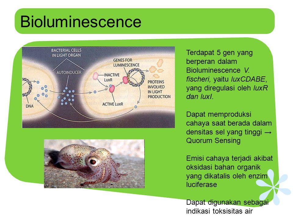 Bioluminescence Terdapat 5 gen yang berperan dalam Bioluminescence V. fischeri, yaitu luxCDABE, yang diregulasi oleh luxR dan luxI. Dapat memproduksi