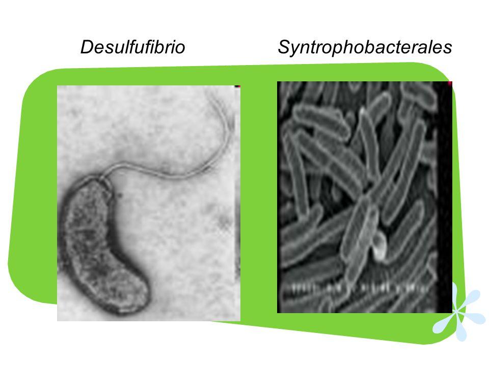 DesulfufibrioSyntrophobacterales
