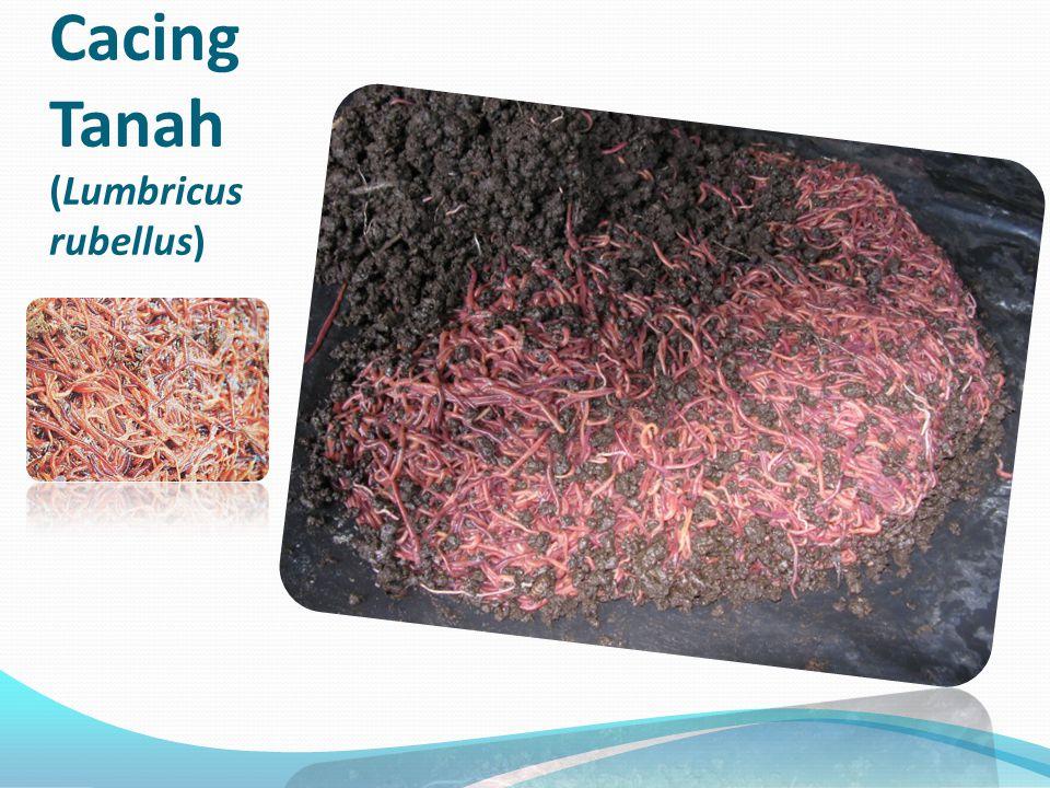 Cacing Tanah (Lumbricus rubellus)