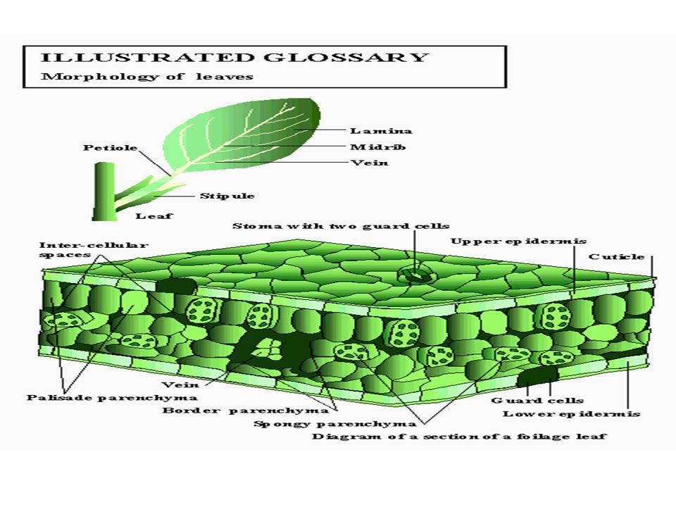 ATURAN LETAK DAUN 1 nodus : satu daun=folia sparsa 1 nodus : 2 daun berhadapan= folia opposita 1 nodus : lebih dari 2 daun= folia verticilata= duduk daun berkarang( dalam lingkaran )