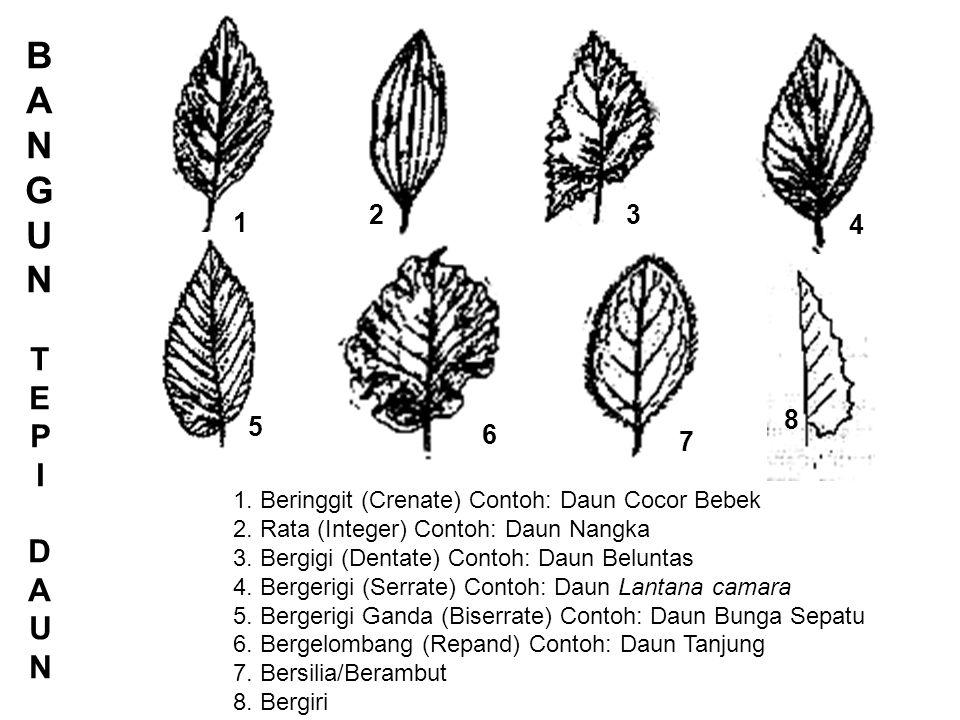 BANGUNTEPIDAUNBANGUNTEPIDAUN 1 2 3 4 5 1.Beringgit (Crenate) Contoh: Daun Cocor Bebek 2.