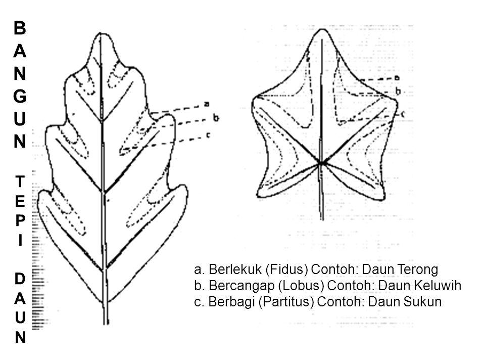 a.Berlekuk (Fidus) Contoh: Daun Terong b. Bercangap (Lobus) Contoh: Daun Keluwih c.