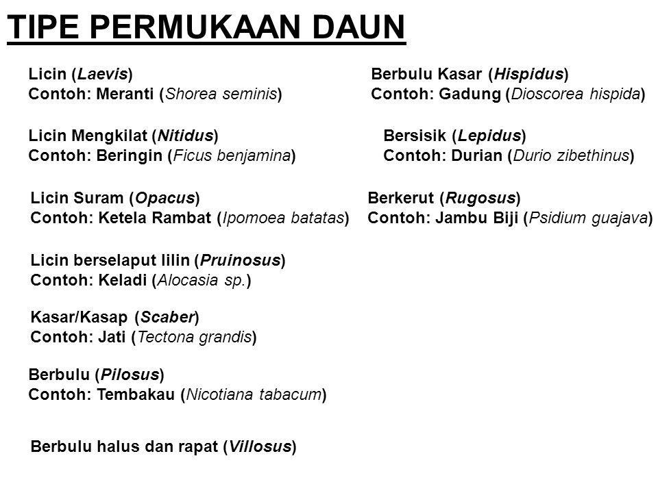 Bersisik (Lepidus) Contoh: Durian (Durio zibethinus) TIPE PERMUKAAN DAUN Licin (Laevis) Contoh: Meranti (Shorea seminis) Licin Mengkilat (Nitidus) Con