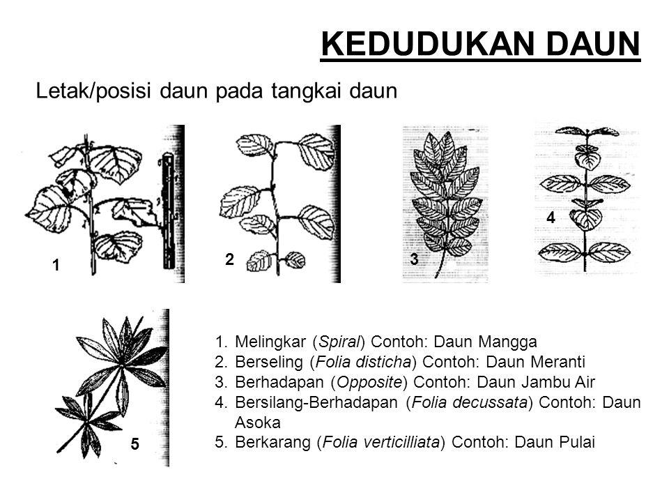 Letak/posisi daun pada tangkai daun 1.Melingkar (Spiral) Contoh: Daun Mangga 2.Berseling (Folia disticha) Contoh: Daun Meranti 3.Berhadapan (Opposite)