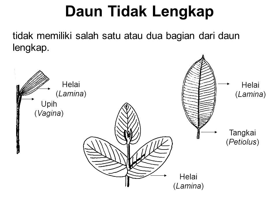 Tangkai (Petiolus) Upih (Vagina) Helai (Lamina) tidak memiliki salah satu atau dua bagian dari daun lengkap. Daun Tidak Lengkap