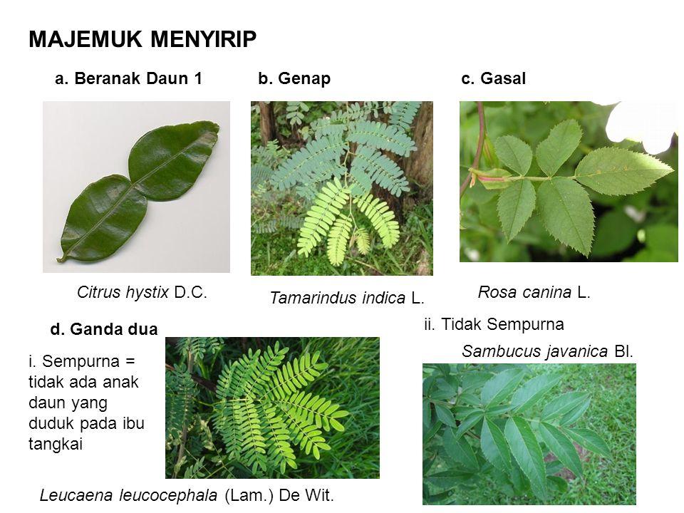 Bersisik (Lepidus) Contoh: Durian (Durio zibethinus) TIPE PERMUKAAN DAUN Licin (Laevis) Contoh: Meranti (Shorea seminis) Licin Mengkilat (Nitidus) Contoh: Beringin (Ficus benjamina) Licin Suram (Opacus) Contoh: Ketela Rambat (Ipomoea batatas) Licin berselaput lilin (Pruinosus) Contoh: Keladi (Alocasia sp.) Kasar/Kasap (Scaber) Contoh: Jati (Tectona grandis) Berkerut (Rugosus) Contoh: Jambu Biji (Psidium guajava) Berbulu (Pilosus) Contoh: Tembakau (Nicotiana tabacum) Berbulu halus dan rapat (Villosus) Berbulu Kasar (Hispidus) Contoh: Gadung (Dioscorea hispida)