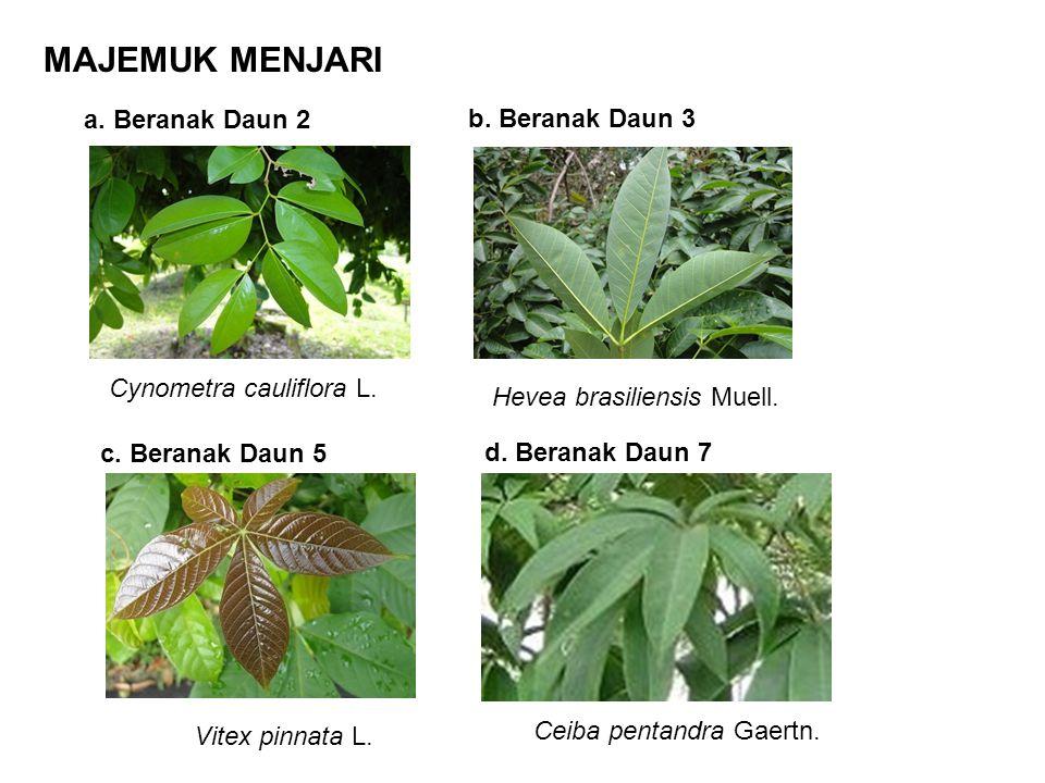 MAJEMUK MENJARI a. Beranak Daun 2 b. Beranak Daun 3 Cynometra cauliflora L. Hevea brasiliensis Muell. c. Beranak Daun 5 d. Beranak Daun 7 Vitex pinnat