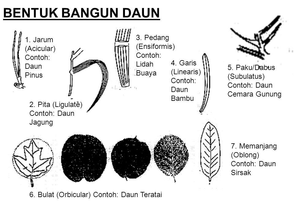 BENTUK BANGUN DAUN 1. Jarum (Acicular) Contoh: Daun Pinus 2. Pita (Ligulate) Contoh: Daun Jagung 3. Pedang (Ensiformis) Contoh: Lidah Buaya 5. Paku/Da