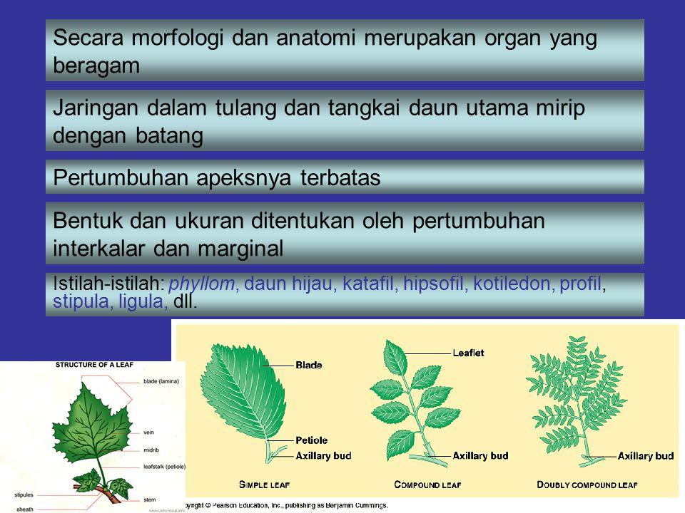Secara morfologi dan anatomi merupakan organ yang beragam Jaringan dalam tulang dan tangkai daun utama mirip dengan batang Pertumbuhan apeksnya terbat