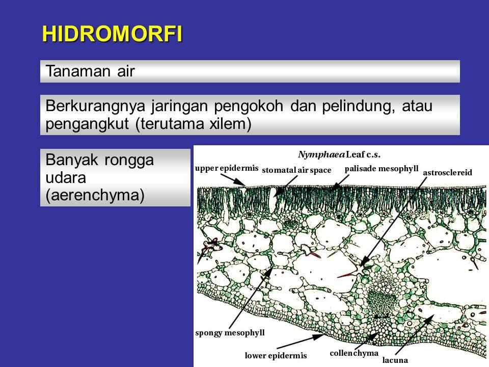 HIDROMORFI Tanaman air Berkurangnya jaringan pengokoh dan pelindung, atau pengangkut (terutama xilem) Banyak rongga udara (aerenchyma)