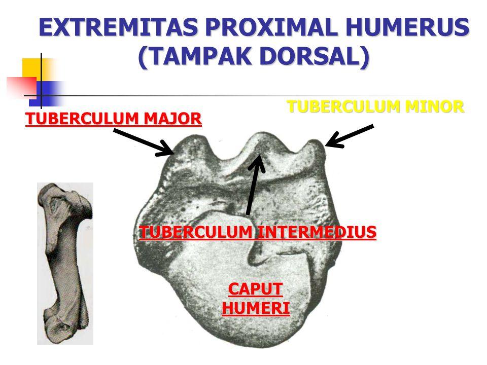 EXTREMITAS PROXIMAL HUMERUS (TAMPAK DORSAL) CAPUT HUMERI CAPUT HUMERI TUBERCULUM MAJOR TUBERCULUM MAJOR TUBERCULUM MINOR TUBERCULUM INTERMEDIUS TUBERC