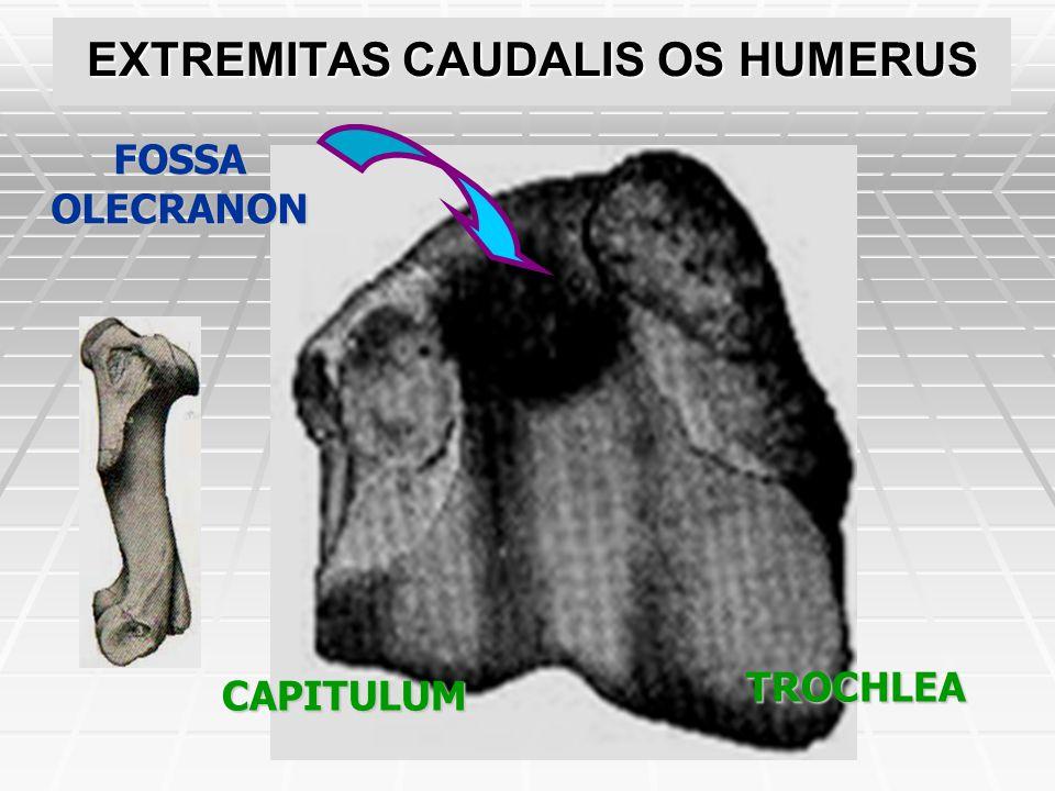 EXTREMITAS CAUDALIS OS HUMERUS EPICONDYLUS MEDIALIS EPICONDYLUS LATERALIS CRISTA EPICONDYLOIDEA LATERALIS P.T.O.